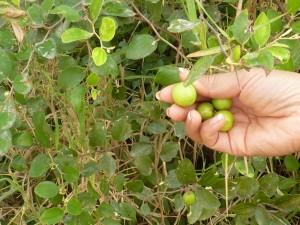 Sur le terrain, je vois un arbre fruitier, des putrir en khmer